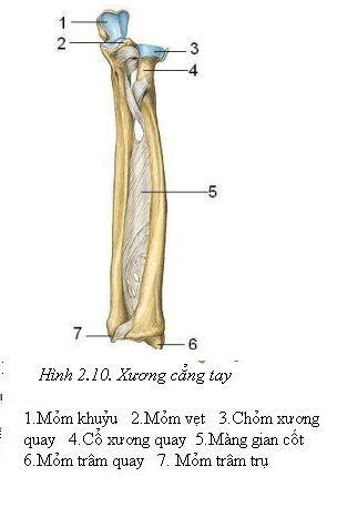 xương trụ và xương quay